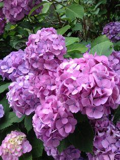 Hydrangea macrophilla / 紫陽花  アルカリ性土壌だとピンクになるようです。