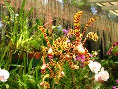 Sri Lanka, Kandy Botanical Garden, Orchids