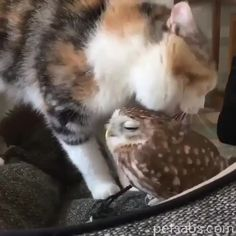 Beautiful Cat Stroking Her Baby Owl Brother Beautiful Cat Stroking Her Baby Owl BrotherYou can find Baby owls and more on our website.Beautiful Cat Stroking Her Baby Owl . Cute Funny Animals, Cute Baby Animals, Animals And Pets, Cute Cats, Funny Owls, Cute Owl, Cat Fun, Beautiful Cats, Animals Beautiful