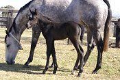 Gold Edition & her 2009 More Than Ready colt (photo: Bronwen Healy)