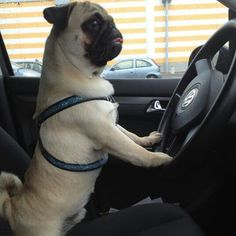 Percy the pug is a driver