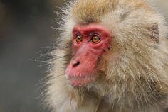 by Kiyo Photography ニホンザル Japanese macaque/snow monkey(Macaca fuscata) Japanese Monkey, Japanese Macaque, Monkey Pictures, Monkey Park, Nagano, Primates, National Geographic Photos, Old World, Amazing Photography