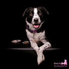 Border Collie X photographed by Shoot-Ya-Pooch Pet Photography | www.shootyapooch.com