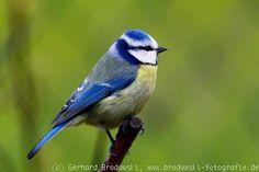 Prsa profil: Blue Tit
