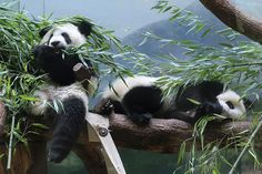Bamboozled   Mei Lun and Mei Huan are starting to eat bamboo…   Flickr