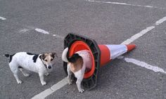 http://www.dogshaming.com/i-adore-traffic-cones-my-sister-is-ashamed/#