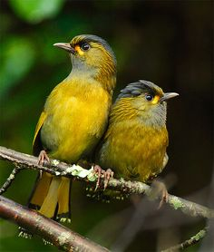 Steer's Liocichla. The laughingthrushes are a family of mostly Old World passerine birds.