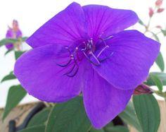 39 best neck chakra 5 images on pinterest spirituality chakra glory bush in flower gumiabroncs Images