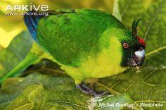 Uvea Parakeek ( Melanesia)