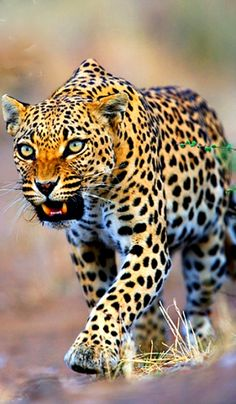 ♥ ✿⊱╮ Beautiful Leopard  ✿⊱╮♥