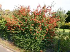 Feuerdorn 'Red Column' - Pyracantha coccinea 'Red Column'