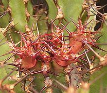 Euphorbia Zoutpansbergensis             Soutpansberg  Euphorbia     Soutpansbergnaboom       5 m         S A no 357