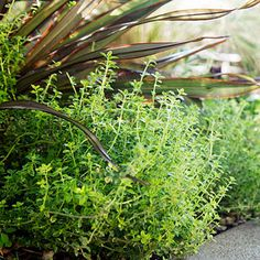 Thyme and phormium make a perfect pair. A mound of gray-green culinary thyme (Thymus vulgaris) softens a stiffer, upright form of 'Tom Thumb' New Zealand flax (Phormium).