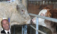 'Gay' bull saved from slaughter by Simpsons creator has first kiss #DailyMail