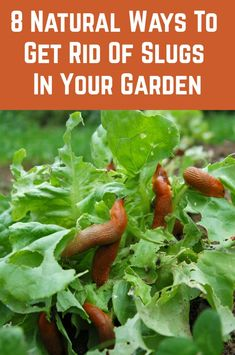 Slugs can be one of the most annoying garden pests. If left uncontrolled, they can completely annihilate a healthy garden. If you notice lots of small holes in the leaves of your plants, you likely Slugs In Garden, Garden Bugs, Garden Insects, Veg Garden, Garden Pests, Edible Garden, Lawn And Garden, Getting Rid Of Slugs, Gardens