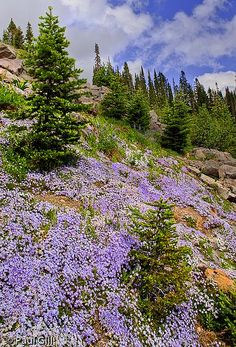 Mt. Rainier creeping phlox