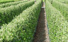 Corokia 'Geenty's Green' hedge - spring, a native with superb olive-like foliage