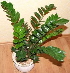 Zamioculcas - plante verte d'intérieur que j'ai chez moi