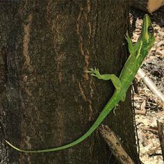 We had to take down a Laurel Oak in our yard today and it was apparently home to this Cuban knight anole. Boy was it pissed! I felt bad but then I remembered that these eat our other anoles and I wasn't upset anymore. #cuban #cubanknightanole #knightanole - #lizard #anole #reptile #reptilesofinstagram #lizardsofinstagram #reptiles #lizards #animals #animal #reptilelover #wildlife #herpetology #lizardlove #reptilesofig #reptigram #coldblooded - #garden #mygarden #gardening - #florida…