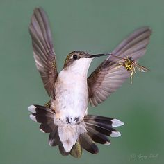 Hummingbird and Wasp Faceoff - Incredible images of birds in flight, captured with a special camera set-up. Amazing movements of birds Gerry Sibell has been able to immobilize