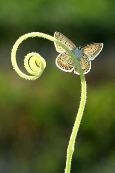 A perfect capture: the delicacy of the butterfly, the sweet curve of the tendril, and the fleeting, golden light - just beautiful.