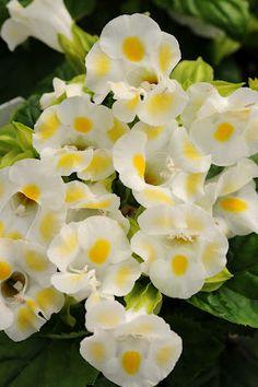 Torenia 'Kaui Lemon Drop'