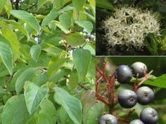 silky dogwood - up to 15'; bluish fruit matures in September; slow growth, forms thickets, relatively short-lived