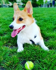 I could play catch all day  #corgis #corgilove #corgilife #corgiaddict #leelathecorgi #corgstagram #corgtacular #welshcorgi #pembrokewelshcorgi #puppy #puppies #puppylove #cute #cuteness #cutenessoverload #dogs #instagramcorgis #corgisofinstagram #dogsofinstagram #dogstagram #photooftheday #shortlegs #코기스타그렘 #개스타그렘 #웰시코기 #강아지 #コーギー #子犬 #柯基犬 #小狗