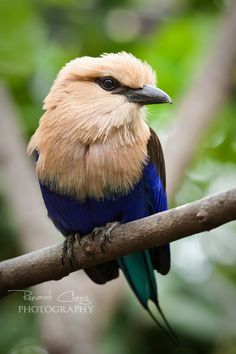 Blue-Bellied Roller  (by*RHCheng)