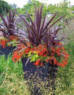Container Gardening- new zeland flax, begonias, potato vine Tall Potted Plants, Tall Planters, Outdoor Planters, Foliage Plants, Outdoor Gardens, Outdoor Decor, Container Flowers, Container Plants, Container Gardening