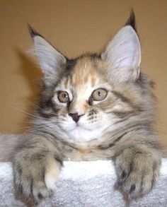 stunning tortie tabby maine coon from rockoon maine coons http://www.mainecoonguide.com/male-vs-female-maine-coons/