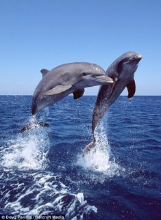 Jumping for joy: The dolphins which don't stop playing even when the sun goes . - Jumping for joy: The dolphins which don't stop playing even when the sun goes down – # - Photo Dauphin, Cute Baby Animals, Animals And Pets, Beautiful Creatures, Animals Beautiful, Animals Amazing, The Ocean, Dolphin Art, Ocean Creatures