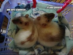 "from the rodent remake of ""Lady and the Tramp""...What incredible markings these ratties have !"