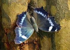A Blue Admiral Butterly on Tree Trunk