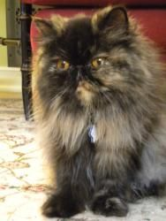 Emma is an adoptable Persian Cat in Seattle, WA. **Please read ogranization information before inquiring on a cat. Please email if you would like more information on a cat as this is the most efficeie...