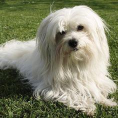 210 Ideas De Maju En 2021 Mascotas Perros Perro Maltes