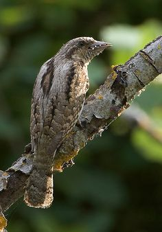 Wryneck by Jakob Sig, via Flickr - The wrynecks (genus Jynx) are a small but distinctive group of small Old World woodpeckers (Picidae family).