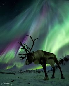 Naturee - Reindeer under strong auroras. Tromso, Northern Norway | Photography by @arcticlightphoto  https://instagram.com/p/8bSNNbQ6UU/?taken-by=naturee