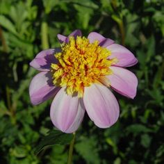 "Anemonenblütige Dahlie ""Bee Mine"""
