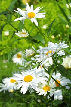 Summer meadow of daisies close up Stock Photo