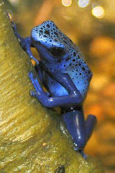 ˚Blue Poison Dart Frog                                                                                                                                                                                 More