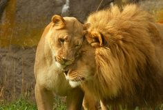 Leonine Lovers by kijani-lion on DeviantArt Lion Love, Wolf Love, Woodland Park Zoo, Lion Pictures, Animal Pictures, Cat Quotes, African Animals, Big Cats, Mammals