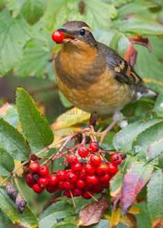 The Varied Thrush (Ixoreus naevius) is a member of the thrush family Turdidae. The Varied Thrush breeds in western North America from Alaska to northern California. It is migratory, with northern breeders moving south within or somewhat beyond the breeding range.