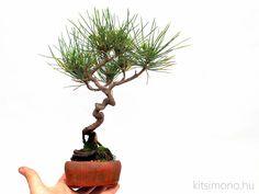 Pinus thunbergii shohin bonsai pot in kitsimono