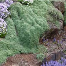 There are very few ground covers that can be walked-on, but creeping thyme is one of them. So it makes an ideal ground cover to use between stepping stones, near the patio adjoining walkways or around stones and boulders.