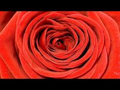 Time Lapse Flower Blooming Rose With Fading - Zeitraffer Video Blühende Rote Rose - YouTube