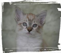 mirrorslaperm | Kattuppfödning av La Perm