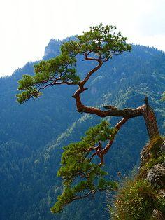 Lone pine in the Pieniny Mountains, Sokolica Mount ( 747 m n.p.m.), Poland