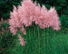 "Pink Pampas Grass (Cortaderia selloana) - You can enjoy fresh green foliage topped by long, thick dusty-pink plumes when you grow Pampas Grass seeds. These elegant ornamental grasses have ""feather duster"" plumes from late summer and throughout the. Grass Seed, Ornamental Grasses, Tall Grasses, Dream Garden, Lawn And Garden, Diy Garden, Garden Inspiration, Garden Plants, Shrubs"