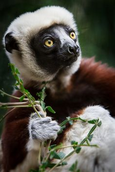 The Coquerel's Sifaka is native to Madagascar and is an Endangered species. This beautiful lemur is threatened by habitat loss and hunting. Animals Of The World, Animals And Pets, Cute Animals, Beautiful Creatures, Animals Beautiful, Los Primates, Slow Loris, Animal Species, Endangered Species